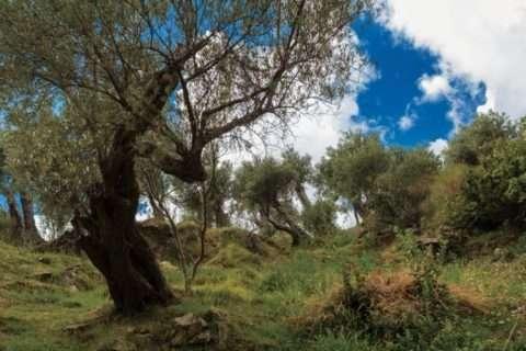 olives_518043- ok